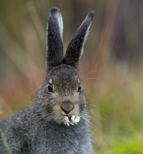 Frokost - hare. 38 poeng. © Ketil Olsen
