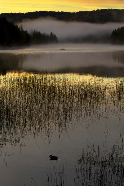 Stokkand i miljø. 40 poeng. © Leif Rustand