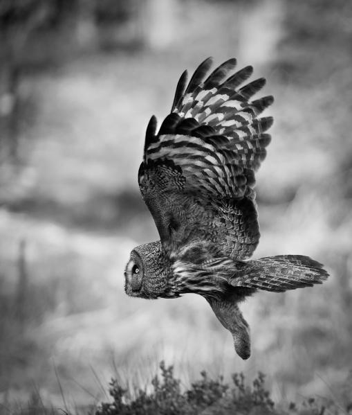 Lappugleflukt. Gull. © Jan Rune Samuelsen