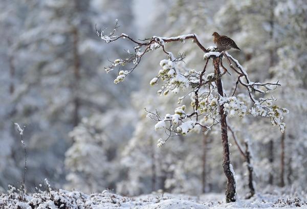 Orrhøne i miljø. 38 poeng. © Marius Schjelderup-Høye