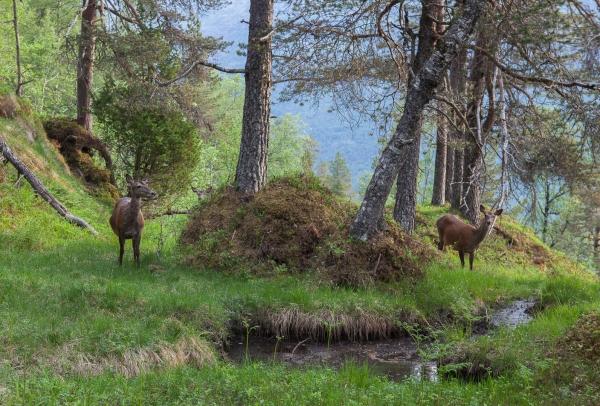 Vårmorgon i hjorteskogen. 44 poeng. © Kjell Ivar Øye