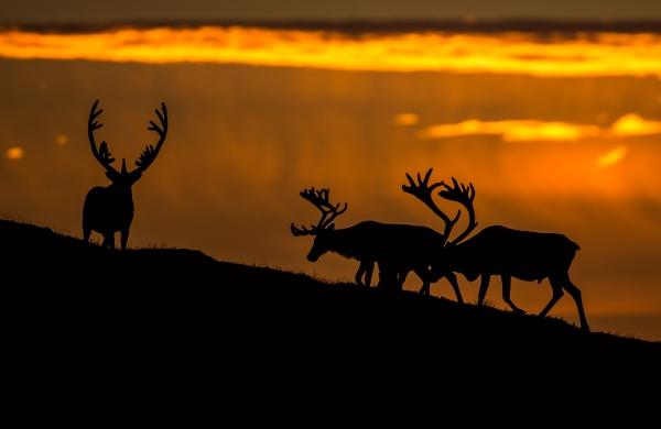Reinsdyr. 42 poeng. © Øyvind Dyrdal