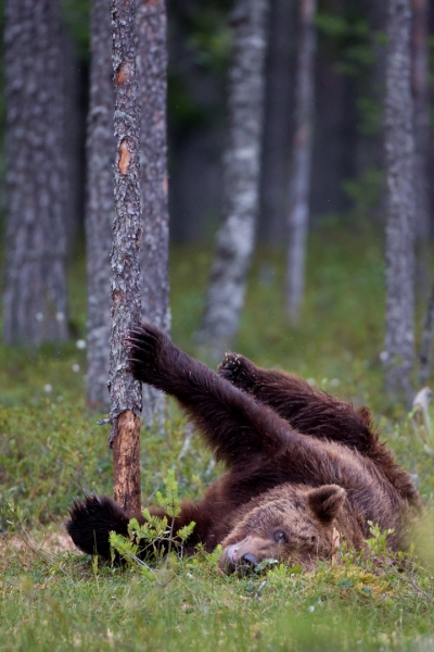 Bjørn. 38 poeng. © Øyvind Dyrdal