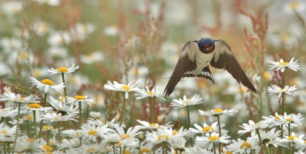 Svale på jakt i blomstereng. Gull. © Svein R. Johannessen