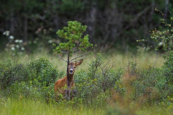 Rådyrbukk som duftmarkerer. 39 poeng. © Vidar Lunde