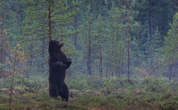 Når det klør - bjørn. 38 poeng. © Ketil Olsen