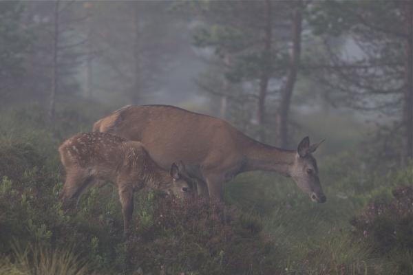 Kolle og kalv. 39 poeng. © Bernt Østhus