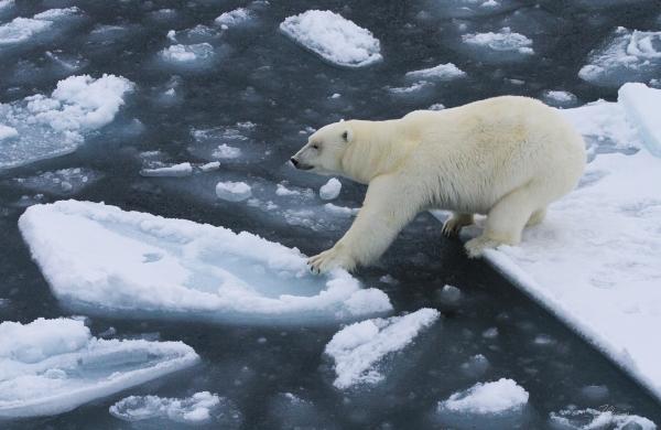 Isbjørn klamrer seg til isen. 40 poeng. © Jørgen Skaug