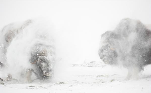 Moskus rister seg. 42 poeng.  © Helge Helland