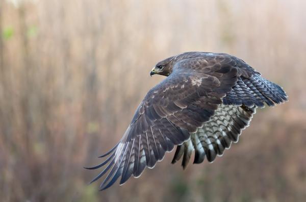 Musvåk i flukt. 44 poeng.  © Jarl Kjetil Johnsen