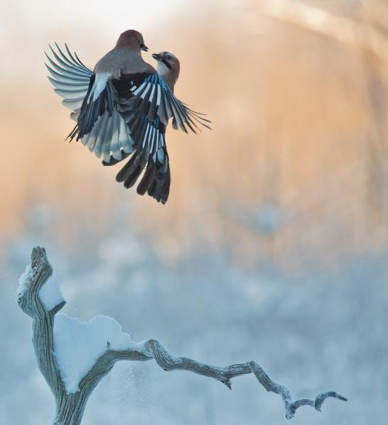 Luftig nøtteskrikedans. 42 poeng.  © Jarl Kjetil Johnsen