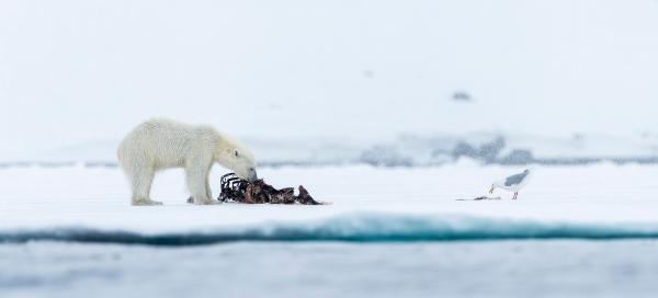 Isbjørn og polarmåke. Gull.  © Jan R. Olsen