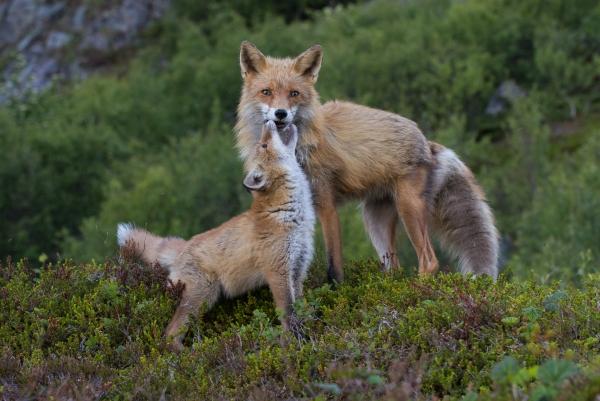 Rødrev - Mor og datter. Gull.  © Ketil Olsen