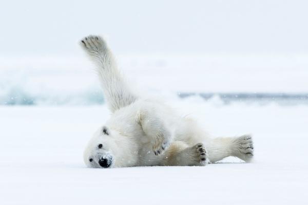 Isbjørnstrekk. Gull.  © Jan R. Olsen
