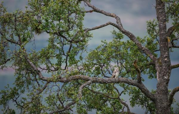 Ugletreet. Gull.  © Ketil Olsen