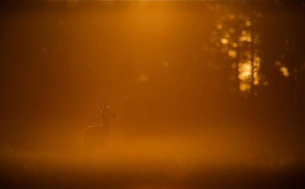 Hjort. Gull.  © Bernt Østhus