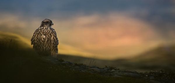 Jaktfalk i kveldslys. Gull.  © Bernt Østhus