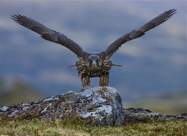 Jaktfalk. Gull. © Bernt Østhus