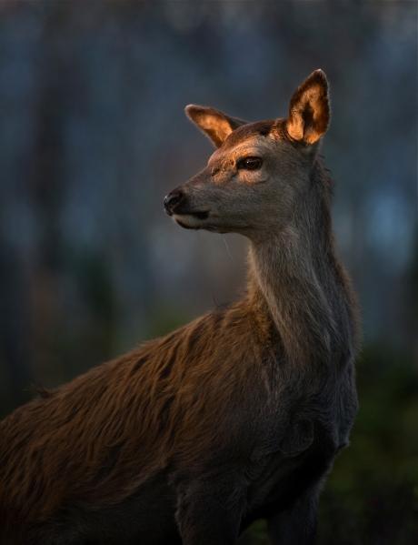 Hjort i strølys. Gull.  ©  Bernt Østhus