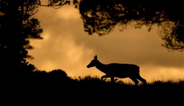 Hjort i ramme. Gull.  © Bernt Østhus