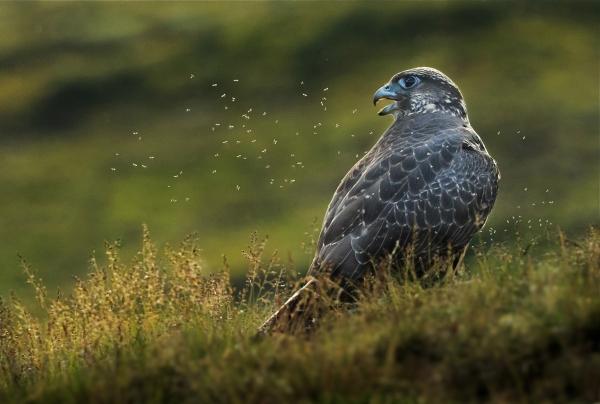 Jaktfalk i myggsverm. Gull.  © Bernt Østhus