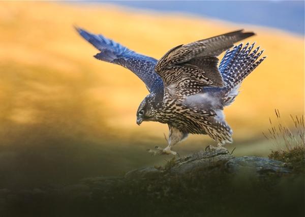 Løpende jaktfalk. Gull.  © Bernt Østhus