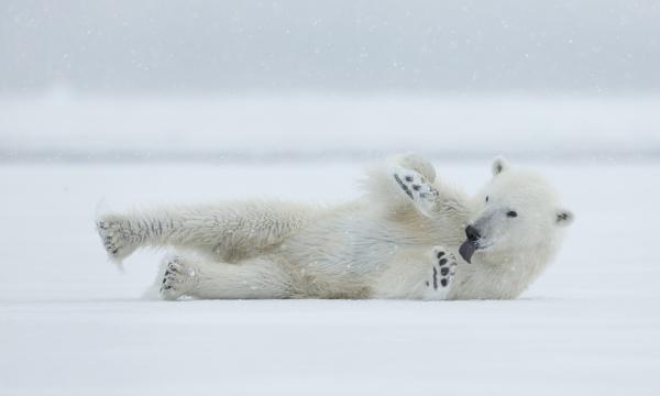 Isbjørn i snødrevet. Gull.  © Duy Ahn Pham