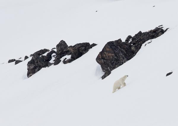 Isbjørn i fjelllandskap. 40 poeng.  © Duy Ahn Pham