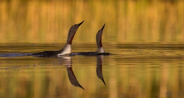 Smålom synkron. Gull.  © Duy Ahn Pham