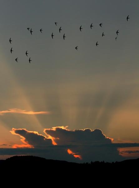 Tårnseilere i strålelys. Gull.  © Leif Rustand