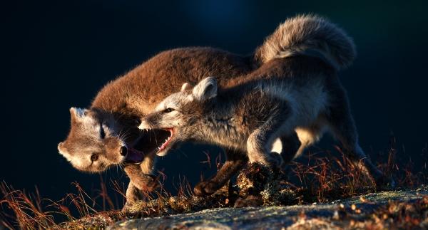 Valpelek. 42 poeng.  ©  Robin Jenssen
