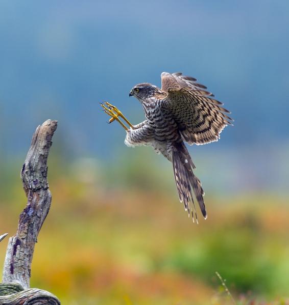 Spurvehauken lander. 39 poeng.  © Arne Aronsen