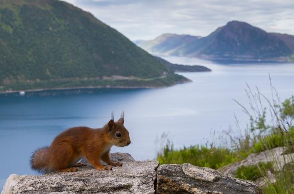 Ekorn i fjordlandskap. 38 poeng.  © Kjell Ivar Øye