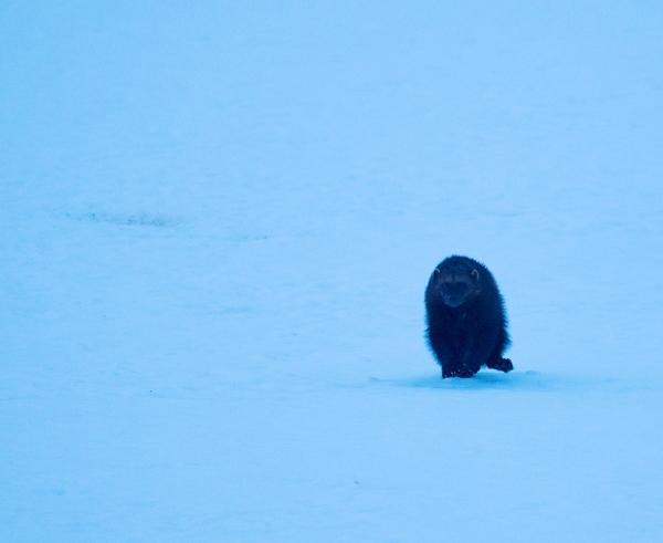 Jerv i blåtimen. 38 poeng.  © Robin Jenssen