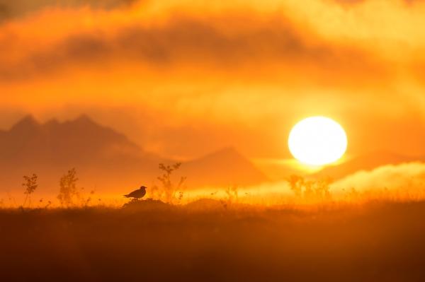 Tyvjo. Gull.  © Jan R. Olsen