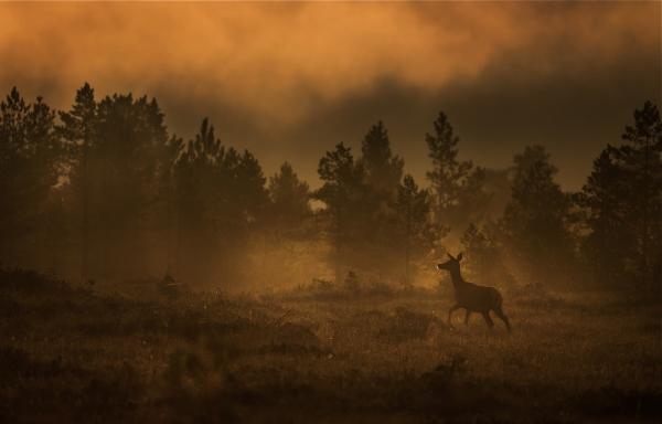 Hjort i morgenlys. Gull.  © Bernt Østhus