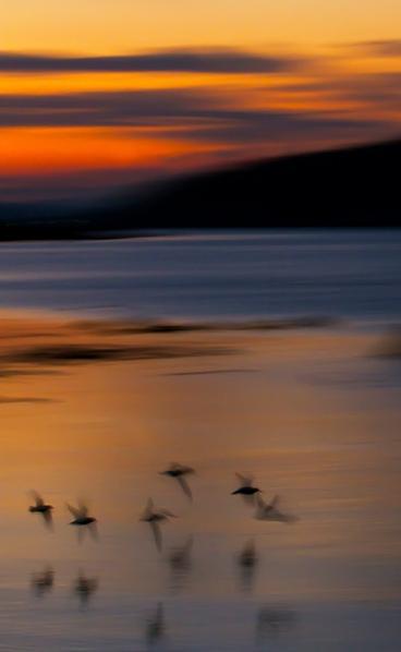 Myrsniper i flukt. Gull.  © Leif Rustand