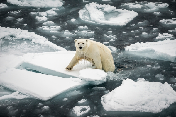 Isbjørn opp av vannet. Gull. © Jan R. Olsen