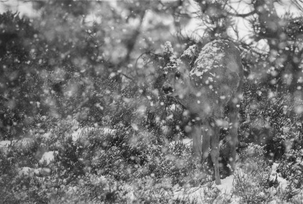Rådyr og snøkjerringer. 44 poeng. © Bernt Østhus