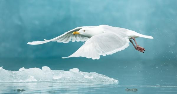 Polarmåke. Gull. © Duy Ahn Pham