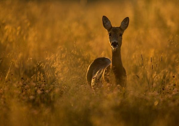 Morgenspeiding - rådyr. 44 poeng. © Duy Ahn Pham
