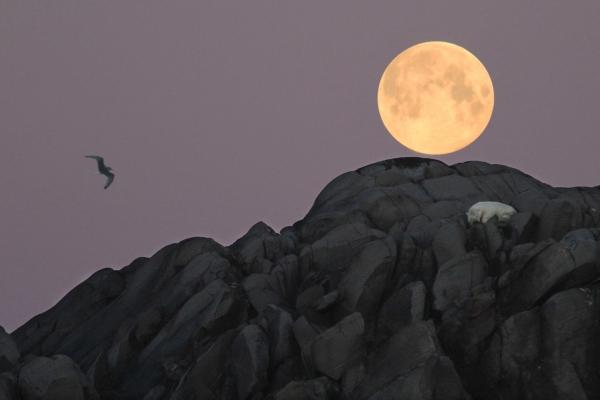 Isbjørnen sover under fullmånen. Gull. © Jørgen Skaug