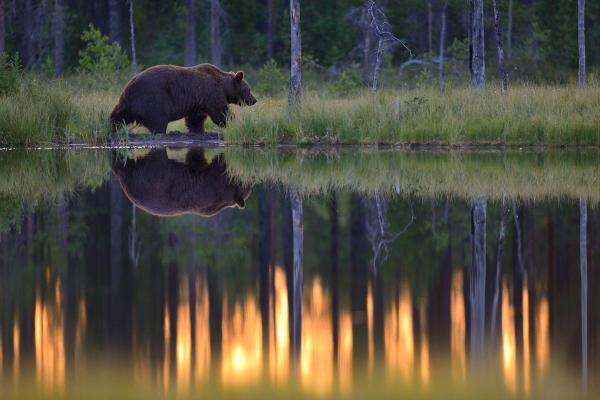 Nattbilde fra Wildlife Safaris Finlands sted Sjøen, juli 2014. © Asle Hjellbrekke/NN