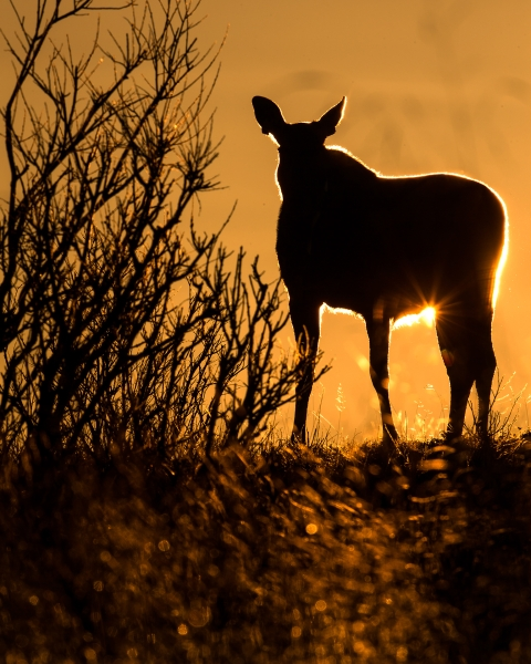 Elg i soloppgang. 35 poeng. © Torleif Hansen