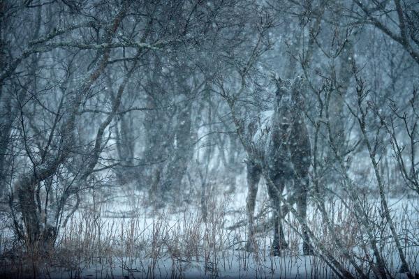 Godt kamuflert elg. Gull.  © Ebba Jenssen