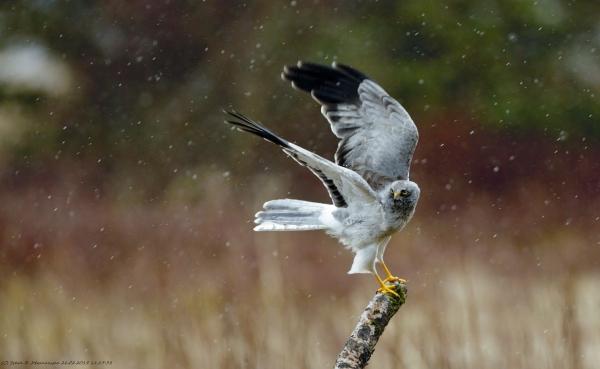 Myrhauk i sludd og regn. 38 poeng. © Svein R. Johannessen