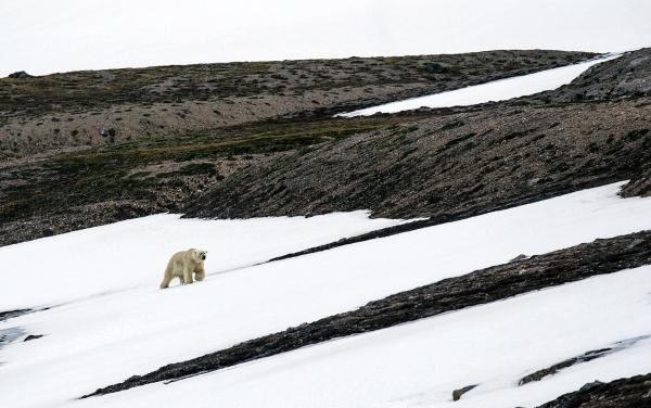 Isbjørn på vandring. 39 poeng.  © Magnar Lien