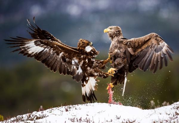 Kamp om matrestene (kongeørn og havørn). 40 poeng.  © Magnar Lien
