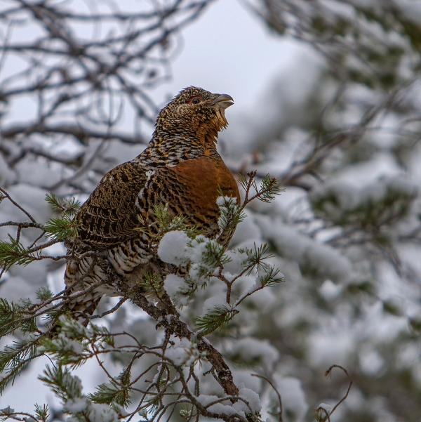 Røy i vinterskog. 38 poeng.  © Magnar Lien