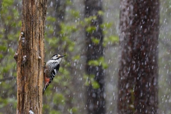 Hvitryggspett i snøvær. Gull. © Rolf Selvik